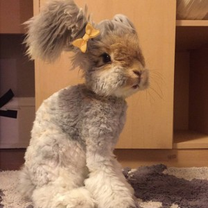 haircut-rabbit-angora-wally-5